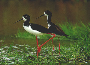 Black Necked Stilt.