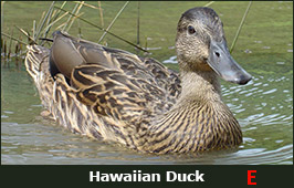 Photo of a Hawaiian Duck