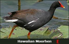 Photo of a Hawaiian Moorhen