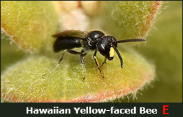 Photo of a Hawaiian Yellow-faced Bee