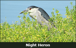 Photo of a Night Heron