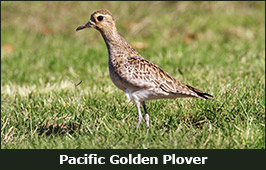 Photo of a Pacific Golden Plover