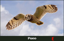Photo of a Pueo