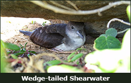 Photo of a Wedge-tailed Shearwater
