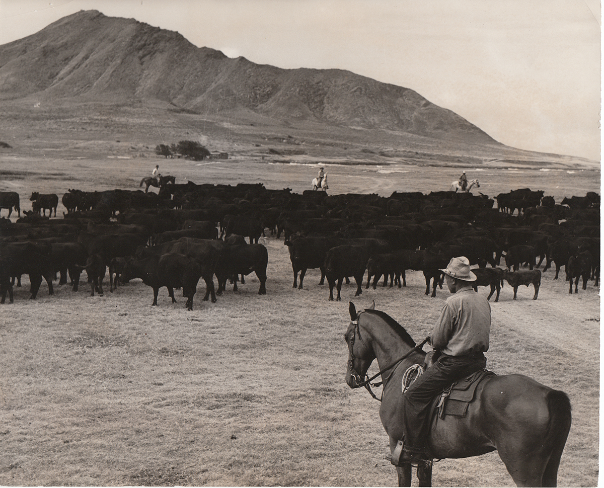 Paniolo (Hawaiian cowboys) from the Kaneohe Ranch in the 1930s on Mōkapu Peninsula.  Photo from Hawaii State