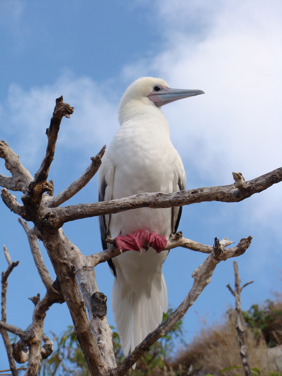 Red Footed Booby.
