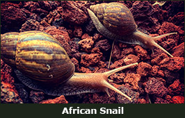Photo of African Snails