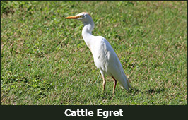 Photo of a Cattle Egret