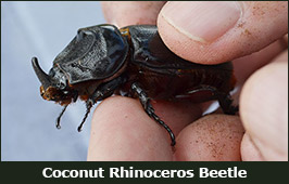 Photo of a Coconut Rhinoceros Beetle