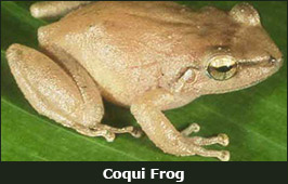 Photo of a Coqui Frog
