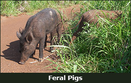 Photo of Feral Pigs