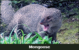 Photo of a Mongoose