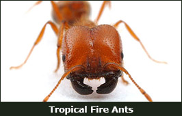 Photo of a Tropical Fire Ant