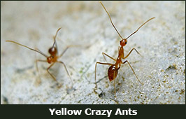 Photo of Yellow Crazy Ants